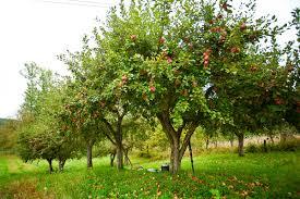 Drzewa i krzewy owocowe do sadu – mój plan | Sposoby na życie